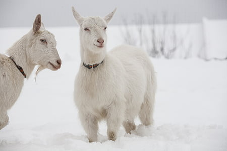 two white goats on ice graphic wallpaper