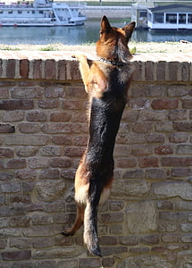 black and tan German shepherd climbing on wall