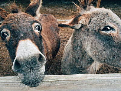 brown and gray donkeys