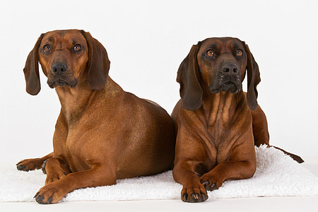 two adult tan Rhodesian ridgeback prone lying on white mats