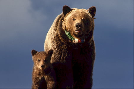 grizzly bear with cub under cloudy blue sky during daytime