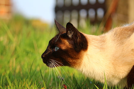 white and black Siamese cat on green grass