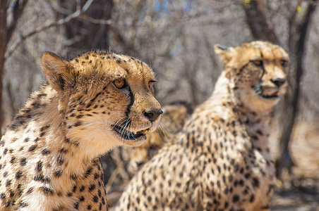 two cheetahs near bare trees during day