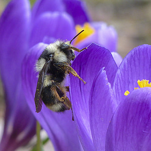 bumblebee perched on purple petaled flowers
