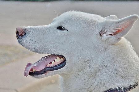 adult white Siberian husky close-up photo during daytime