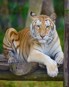 tiger on brown wood