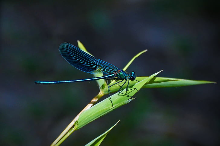 selective focus photography of blue damselfly perched on green leaf