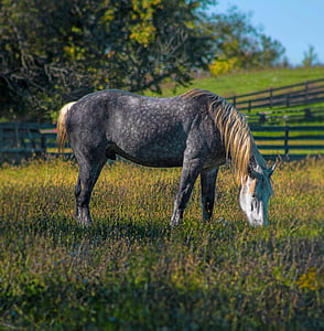 black and brown horse eating grass