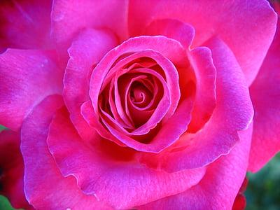photo of pink multi-petaled flower