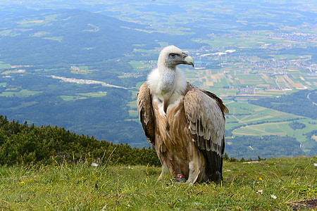 brown and white vulture