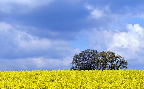 yellow rapeseed flower field near trees under blue sky