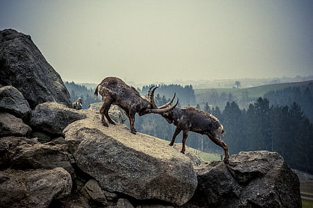 two rams standing on rocks during daytime