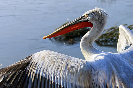 white and red pelican near water