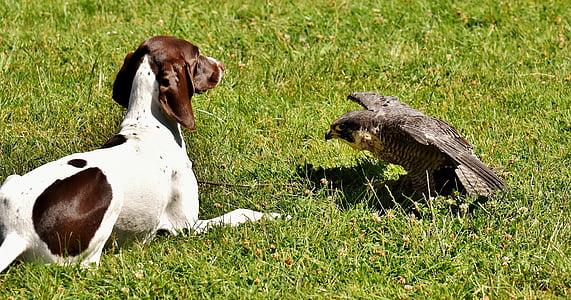medium dog lying on lawn with hawk