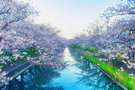Cherry Blossom tree near body of water