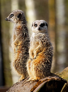 two meerkats at on brown surface