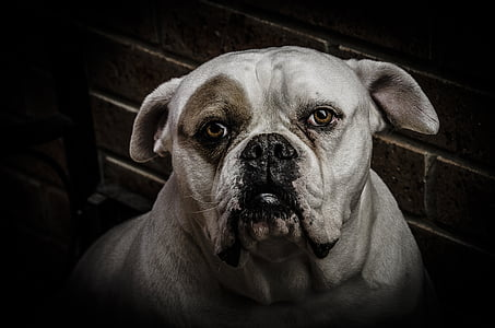 white and tan American bulldog painting