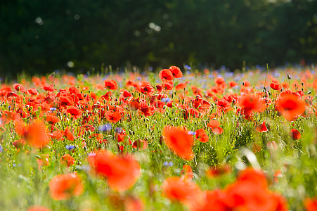 field of orange poppies