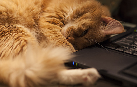 orange tabby cat beside black laptop