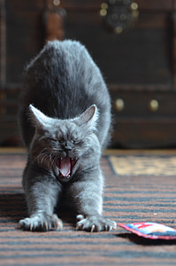 gray cat on brown and black area rug yawning