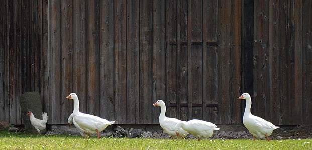 four white ducks