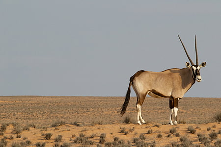 brown and white animal on desert field
