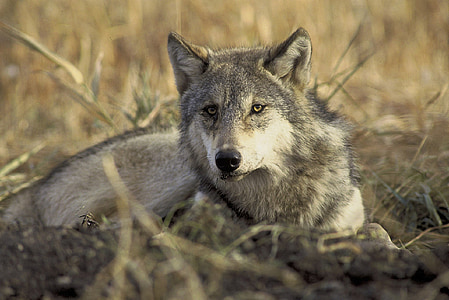 gray wolf in shallow focus photography
