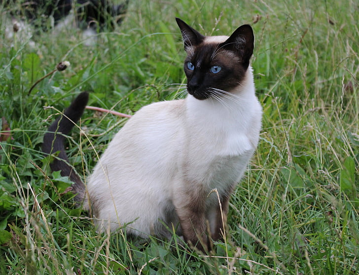 Siamese cat on green grass during daytime
