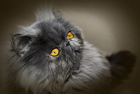 close-up photo of gray Himalayan cat