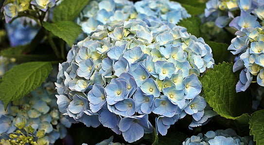 blue-and-yellow hydrangeas in bloom close up photo