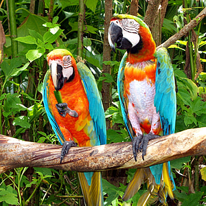 two macaws on tree branch
