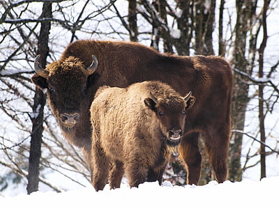 two brown bisons on tundra