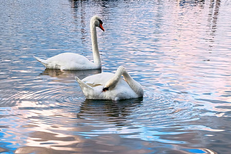 two white swans on river