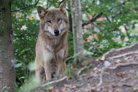 photo of brown wolf in forest
