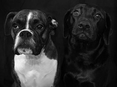 adult boxer and Labrador retriever
