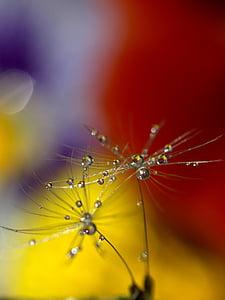 dandelion, drops, wet, macro, plant, water
