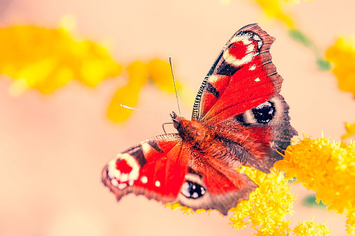 selective focus photography of peacock butterfly perched on yellow petaled flower