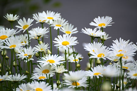 bed of white-and-yellow daisy flowers