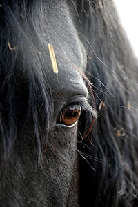 friese, horse, eye, head, black, one animal