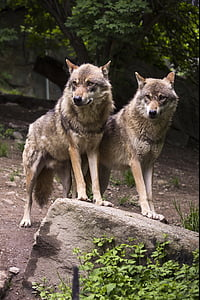 two brown wolves standing on ground