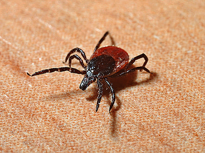 red and black dog tick