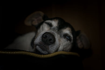 adult black and tan Chihuahua sleeping