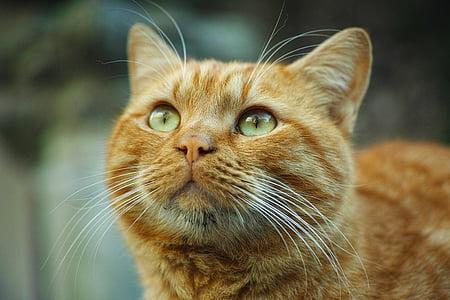 orange tabby cat closeup photography