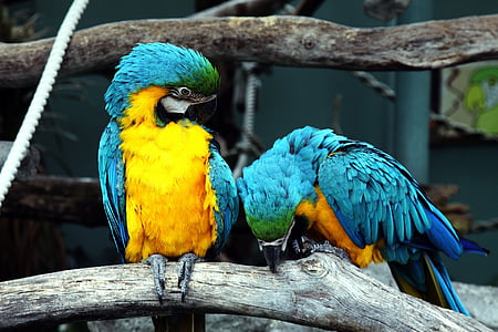 two blue-and-yellow macaws perching on brown tree branch near white rope during daytime
