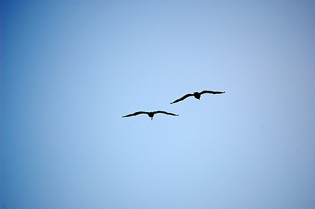 two flying black birds