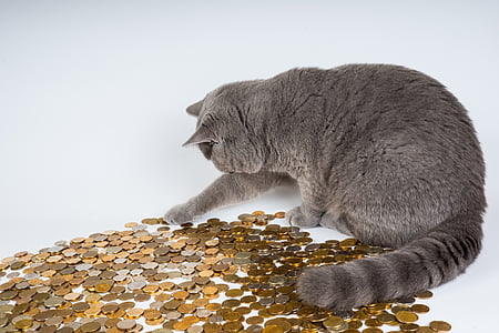 adult gray cat playing with coins