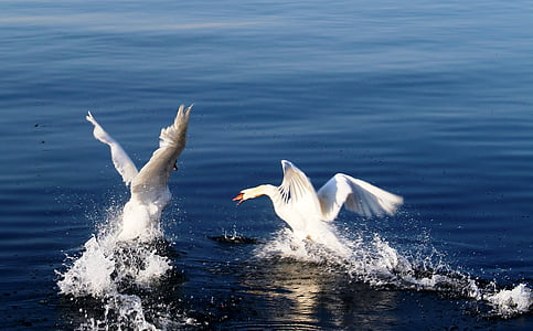 time lapse photography of two mute swans on water
