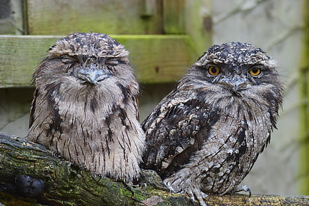 two white-and-black owl perching on brown surface