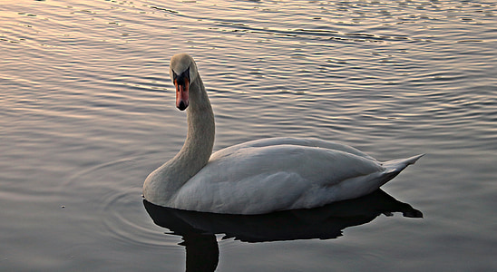 white swan in body of water