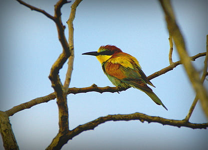 European bee eater perched on tree during daytime